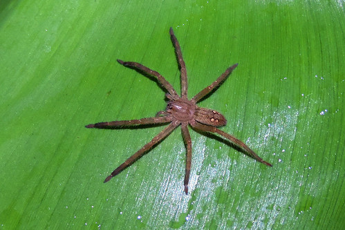 San Ignacio - Unidentfied Spider