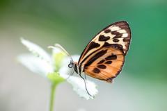 Tithorea harmonia (fabriciodo) Tags: tithoreaharmonia butterfly mariposa papillon macro nature sigma150