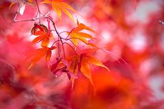 In colours we dream (Ans van de Sluis) Tags: ansvandesluis leaves leaf bokeh bokehlicious flora floral red orange colours colourful autumn