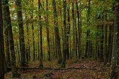 (eLe_NoiR) Tags: elenoir autunno autumn bosco foresta wood forest trees alberi icoloridellautunno cantagallo riservadellacquerino