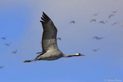 flying.... (Silvio Sola) Tags: gru crane volo flying bird uccello flight