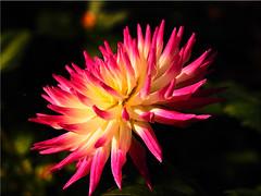 Autumn Beauty (Ostseetroll) Tags: deu deutschland geo:lat=5407418444 geo:lon=1077942768 geotagged schleswigholstein sierksdorf makroaufnahme macroshot dahlie dahlia blüte blossom herbst autumn