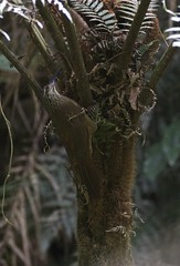 White Throated Woodcreeper (andy w taylor) Tags: woodcreeper whitethroated xiphocalaptes albicollis brazil birds neotropics birding