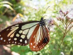 (Polotaro) Tags: mzuikodigital1442mmf3556r fconp01 butterfly insect bug nature olympus epm2 pen zuiko           flower   garden 10