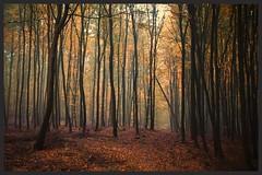 auf dem Weg zur Mritz (NPPhotographie) Tags: nature art creative oberberg npp tree wood forest autumn fall evening magic magical leaf way path fog mist dust elitegalleryaoi bestcapturesaoi