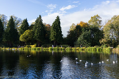 nice day out (Rourkeor) Tags: roukenglen park glasgow scotland unitedkingdom gb autumn trees colours colourful birds water pond ripples shadows reflections sony sonyrx1r rx1r fullframe carlzeiss zeiss sonnar t 35mm golden