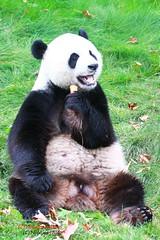Giant Panda - Riesenpanda (Noodles Photo) Tags: zoopairidaiza giantpanda belgium groserpanda ailuropodamelanoleuca riesenpanda pandabr bambusbr xinghui 2016 sugetier panda brugelette pairidaiza tierpark