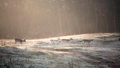 Frosty start (Alex Verweij) Tags: cold frost vorst ochtend awd duinen deer hert damhert damherten walking alexverweij canon 5d markiii 200mm f28 sun sunlight zon opkomst sunset sfeer rijp female vrouw vrouwtjes dier animal bronst burlen