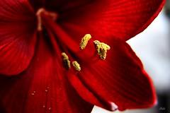 Red (IHolzi) Tags: flowers amaryllis blume blumen pflanze flower