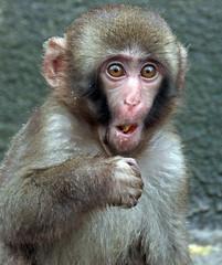 japanese macaque artis JN6A1507 (j.a.kok) Tags: artis macaque japanesemacaque makaak japansemakaak