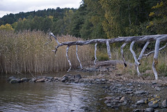 Torrfura vid Norrviken #4-2 (George The Photographer) Tags: sweden stergtland brviken autumn hst dtt trd trdstam torr fura vass vik grs stenar stig strand stersjn kolmrden get norrviken sikudden se
