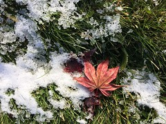 325/365 (AluminumDryad) Tags: photoaday dailypicture project365 snow maple japanesemaple mapleleaf lawn grass nature melting