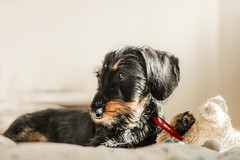 It`s time to play (RoCafe) Tags: milonga pet dog puppy dachshund kaninchen teckel portrait cute adorable 4monthsold nikkormicro105f28 nikond600