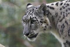 Watchful eye (ucumari photography) Tags: ucumariphotography metrorichmondzoo richmond va virginia october 2016 animal mammal snowleopard pantherauncia dsc4375 specanimal specanimalphotooftheday