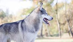 Lumos (nyo denyo) Tags: lumos nvis lubna khalil cwd tamaskan malinois black shepherd forest trip tams winter autumn walk dog dogs wolfdog wolfdogs czechoslovakian tchcoslovaque chien loup