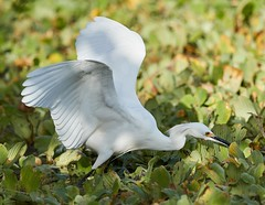 Nov 28 201627100 (Lake Worth) Tags: animal animals bird birds birdwatcher everglades southflorida feathers florida nature outdoor outdoors waterbirds wetlands wildlife wings canoneos1dxmarkii canonef500mmf4lisiiusm