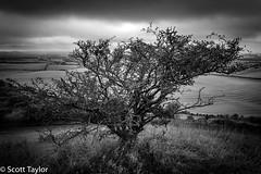 Hawthorn Tree (Scrufftie) Tags: gitzotripod blackwhite canon photoshopcc tiltshiftlens countryside buckinghamshire ivinghoebeacon monochrome nationaltrust tree style canontse24mmf35lii canon5dsr chilterns mono bw