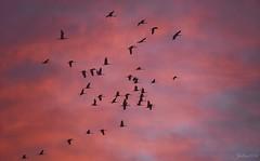 ~~ Les Grues Cendres au dessus de l' tang du Der...~~ (Jolisa) Tags: grues oiseaux birds ciel sky etangduder hautemarne magie rouge red