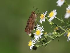 Ocola skipper (Panoquina ocola) (Rezamink) Tags: ocolaskipper panoquinaocola butterflies uk