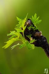 Green Baby Leaves (RJ-Clicks) Tags: rehanjamil rjclicks nikond5100 nikon d5100 pakistaniphotographer photographerindammam photographerinkhobar pakistani leaves greenleaves buds branch babyleaves spring green nature