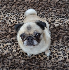 A Pug On Leopard Print (DaPuglet) Tags: pug dog leopard cute animals pets pugleopard leopardpug animal pet pugs dogs blanket coth5 alittlebeauty