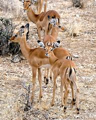 Impala Young (perkster24) Tags: impala impalayoung wildlifephotography wildlife wild wildbird wildanimal gamedrive kenya africa african safari nature naturephotography fujixe2 fuji fujixf100400mmf4556