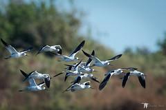 American Avocet Flyby (Chasing Photons) Tags: americanavocet recurvirostraamericana bird brazoria flyby flight texas nwr