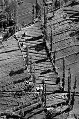 Indonesie, Java, Tengger (jmroyphoto) Tags: arbre champs indonesie java jmroyphoto nb noiretblanc ombres tengger