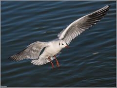 Gaviota reidora. (josemph) Tags: olympus e3 sigma 50500mm bigma aves lridos gaviotareidora chroicocephalusridibundus