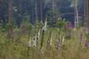 ckuchem-3525 (christine_kuchem) Tags: abholzung baum bienenweide blumen bäume fingerhut holzwirtschaft laubwald lichtung pflanzen spontanvegetation vegetation wald waldlichtung wildblumen wildpflanze wild