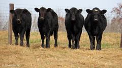 Lineup for fence friday. (~~BC's~~Photographs~~) Tags: bcsphotographs canonsx50 cows hff autumn aroundthefarm kentuckyphotos ourworldinphotosgroup earthwindandfiregroup explorekentucky fencefridaygroup