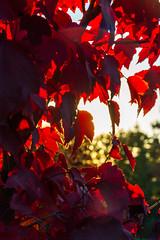 DSC_7518 (sergeysemendyaev) Tags: 2016 russia krasnodar autumn fall       red leaves maple sunset   dusk sun