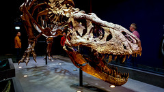 20161206_112422 (durr-architect) Tags: tyrannosaurus rex trex town skeleton naturalis nature museum leiden exhibition fossil consevation carnivorous dinosaur montana black hills institute