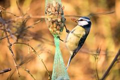 Blaumeise an der Futterkette - Blue tit at the food chain (riesebusch) Tags: berlin garten marzahn vögel