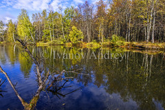 Autumn landscape (Ivanov Andrey) Tags: autumn lake october pond water reflection rural forest beach wood birch maple ash leaf yellow gold nature trunk bark grass bush sky cloud blue skyblue white morning light explore grove journey landscape moss tranquility relaxation shadow sun tourism wild wind russia