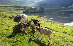Jeux de biquettes (myvalleylil1) Tags: france alpes animaux lac jouxplane hautesavoie
