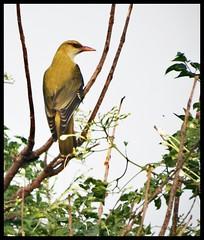 Golden Oriole (indianature13) Tags: bird goldenoriole mumbaibirds birdsinmumbai bombaybirds urbanbirds citybirds mumbai bombay maharashtra india nov dec 2016