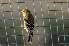 Goldfinch (backyardzoo) Tags: bird finch gold goldfinch