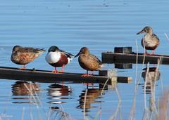 CUCHARAS (PITILLAS) (manu691) Tags: aves acuaticas patos cuchara migratorio
