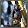 Just hanging out... (juliewilliams11) Tags: photoborder wildlife fauna native flyingfox animal canon wings newsouthwales australia grey black