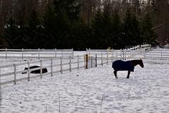 Resting and waiting (shireye) Tags: comoxvalley vancouverisland bc britishcolumbia nikon d610 24120 ff fullframe fx horse fence snow coat cold winter