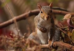 Grey squirrel (Translatomatic) Tags: