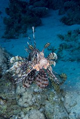 Common lionfish - Pterois miles (Daniel French Underwater Photography) Tags: sea water underwater egypt sharmelsheikh scuba scubadiving underwaterphotography sonydscrx100m2