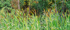 Reeds In The Forest