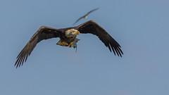 Escaping for a Perch (ken.krach (kjkmep)) Tags: eagle maryland susquehannariver