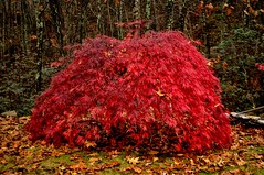 This is our...... (l_dewitt) Tags: red yard maple japaneseredmaple colorsautumn imagesred mapleback japaneseredmapleimages japaneseredmaplephotos weepingjapaneseredmaple weepingjapaneseredmapleimages weepingjapaneseredmaplephotosweeping mapleweeping photosweeping imagesautumn photosautumn