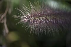 Grass - Focus (alcidesota@yahoo.com) Tags: nikon d3s cabodevassoura nikond3s