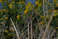 Nelson's Sparrow (surfbird917) Tags: city orange ny newyork bird water yellow brooklyn sam stuart nelsons sparrow daytime marsh saltmarsh ammodramus sharptail