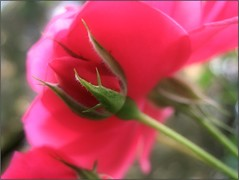 (Tlgyesi Kata) Tags: autumn rose blossom rosa rosen botanicalgarden redflower rosier vcrtt botanikuskert rzsa vcrttibotanikuskert withcanonpowershota620 nemzetibotanikuskert