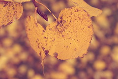 FallFilters (obsequies) Tags: autumn canada color fall love leaves yellow leaf whimsy october colours seasons bokeh harvest manitoba filter changes whimsical